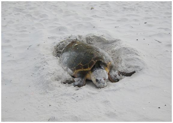 Loggerhead nesting at Alligator Point. Photo courtesy Alligator Point Sea Turtle Patrol