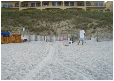 Nest #26, a loggerhead, was found by Cyndi and Art in front of Adagio in Blue Mountain Beach, she came all the way in and would have come further if it were not for the fence, nest that was left in place.