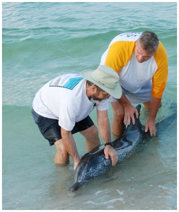 Spotted Dolphin Strands On South Walton Beach Walton Outdoors