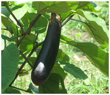 Eggplant just about ready at De Funiak Springs community garden.
