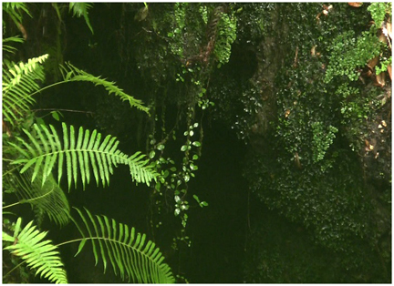 Fourteen different species of fern can be disovered at Falling Waters State Park.