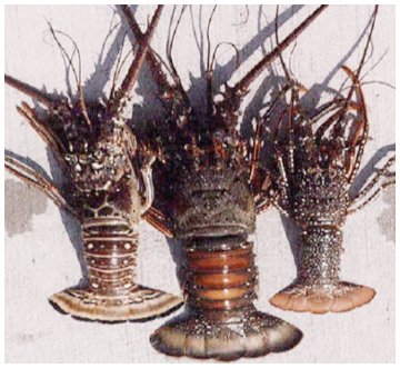 Species of lobster found in Florida (left to right): Caribbean spiny lobster, smooth tail spiny lobster, spotted spiny lobster.