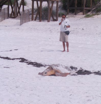 South Walton Turtle Watch folks witnessed a loggerhead lay her eggs on broad daylight on July 23. Nest #30 is in Seacrest. Thank you for sharing Bobby, Kate and Beth of South Walton Turtle Watch. Thank you local Ray Combs for letting everyone know to give the mother turtle plenty of room to lay her eggs.