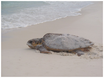 Anthony and Sherry Head of South Walton Turtle Watch Group witnessed a loggerhead nesting on Aug. 2, 2009