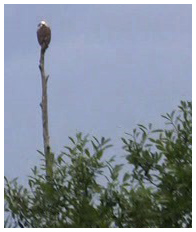 An osprey perched on top of a dead cypress tree.