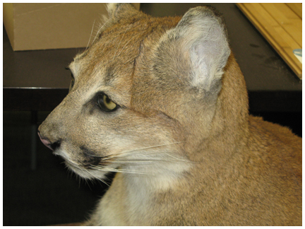 This florida panther will be part of the display at the exhibtion hall.
