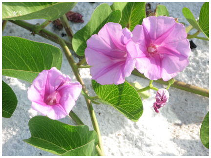 Railroad vine blooms near Blue Mountain Beach.