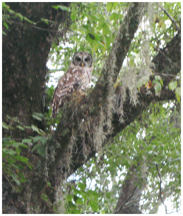 A barred owl perched along the Chipola River.