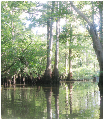 Cypress trees tower above as you paddle the Chain of Lakes.