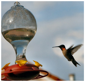Ruby-throated hummer prepares to feed on local Lorre James' artificial feeder.