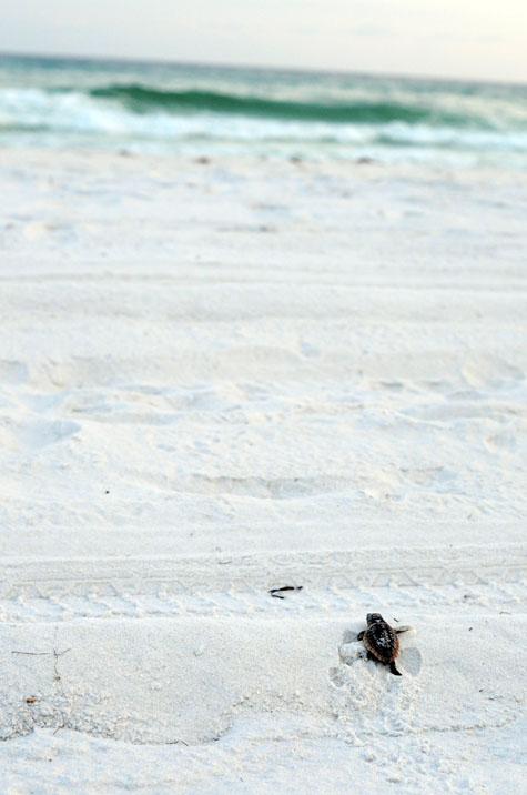 A loggerhead hatchling heads to the Gulf. Photo courtesy Rebecca Wilson.