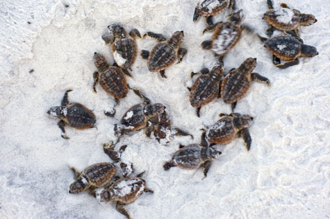 More than 49 loggerhead turtles hatched from nest No. 7. Photo courtesy Rebecca Wilson