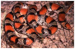 Non-venomous scarlet snake.