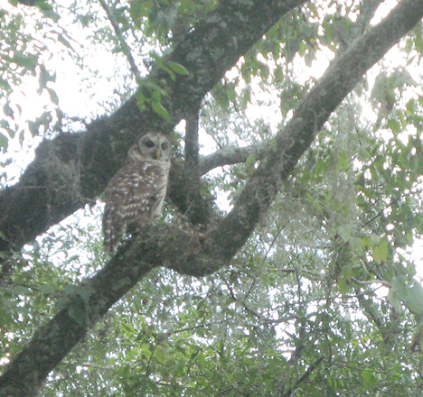 Barred owl on the Chipola river.