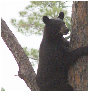 Black bear. Photo courtesy Jamie Conley.