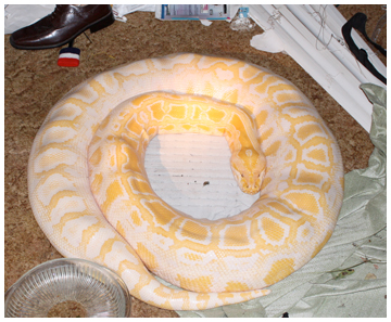 11-foot-long python found in a home in Crestview was not permitted or caged. Photo courtesy FWC.