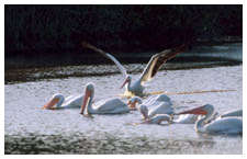 White pelicans arrive in the Panhandle.