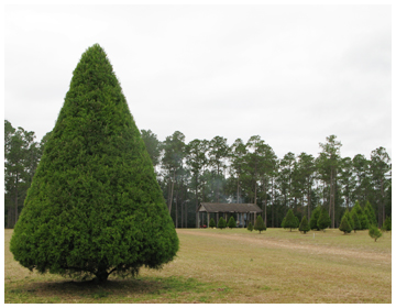 Cut Down Your Own Christmas Tree At Strickland Davis Tree Farm  - Christmas Trees To Cut Down