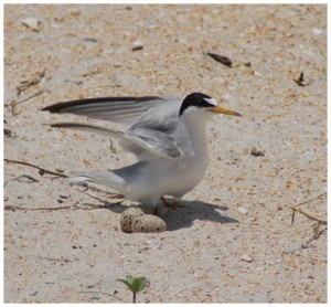 A least tern stands guard over its eggs on a Florida beach during shorebird nesting season.