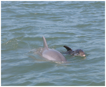 Bottle nosed dolphin and her calf. Lori Ceier/Walton Outdoors