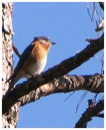 Eastern bluebird. Lori Ceier/Walton Outdoors
