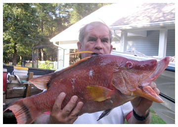 Hogfish Caught Along Reef In Gulf Walton Outdoors