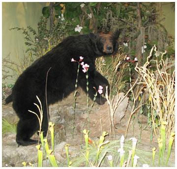 blackbearsm