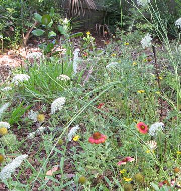 Barbara Young's native garden includes Queen Ann's Lace and Indian blanket. Lori Ceier/Walton Outdoors