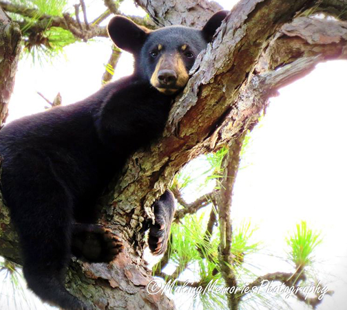 A young bear waits up a tree for onlookers to leave. Photo courtesy Making Memories Photography