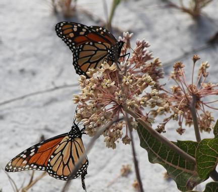 Monarchs feeding on milkweed (Asclepias) at Grayton Beach State Park. Lori Ceier/Walton Outdoors