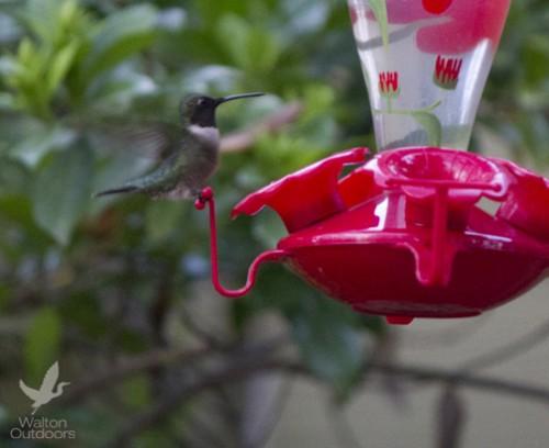 This hummingbird enjoying nectar from a feeder. Lori Ceier/Walton Outdoors