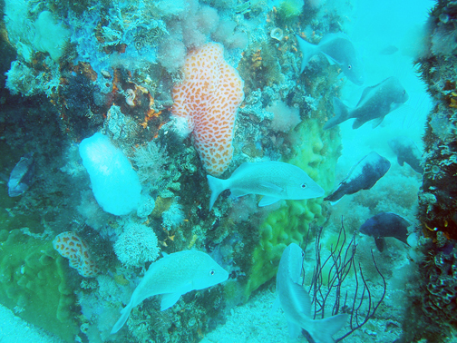 In total, it takes about 3 – 5 years for reefs to reach a level of maximum production for both fish and invertebrate species. Courtesy of Florida Sea Grant.