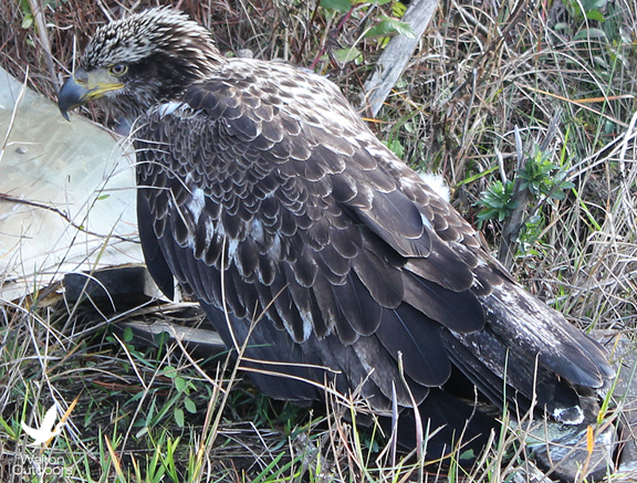 An injured young bald eagle was discovered along U.S. Hwy. 98. Lori Ceier/Walton Outdoors