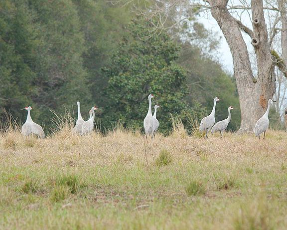 More than two dozen sandhill cranes are wintering in North Walton County. Lori Ceier/Walton Outdoors