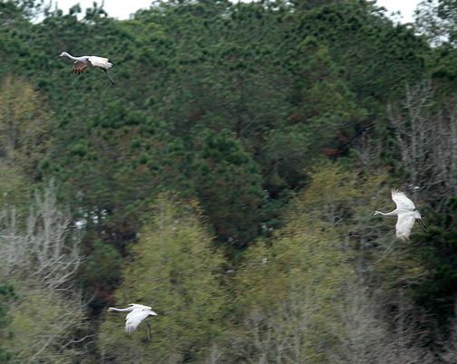 Graceful sandhill cranes fly over a wetland area in North Walton County. Lori Ceier/Walton Outdoors