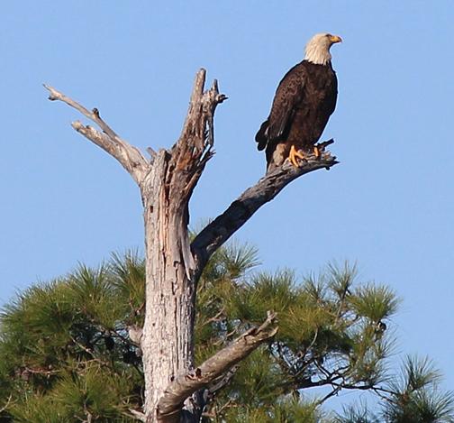 Bald eagle perched along Western Lake in South Walton County Jan. 18, 2013. Lori Ceier/Walton Outdoors