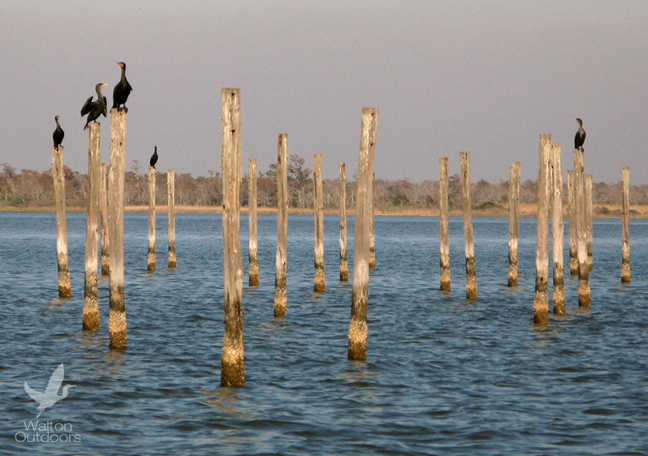 Doulble-crested cormorants sunbathe on the pilings in the Choctawhathcee Bay. Lori Ceier/Walton Outdoors