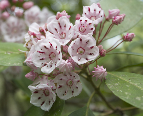 Mountain laurel blooms in April along the trial. Lori Ceier/Walton Outdoors