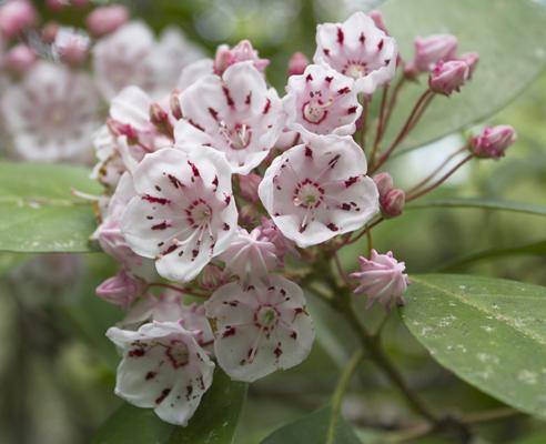 Mountain laurel blooms in April along the trial. Lori Ceier/Walton Outdoors