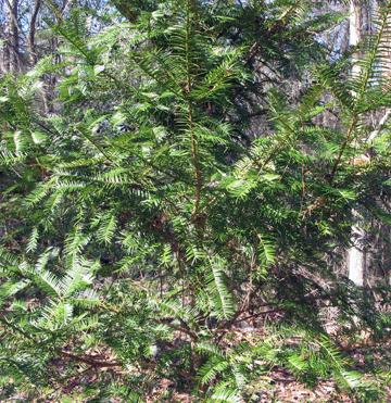 Endangered Torreya (Torreya taxifolia). Lori Ceier/Walton Outdoors