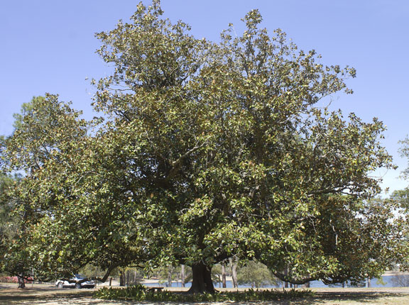 magnoliagrandiflorasm