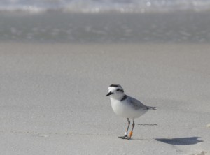 Snowy plover at Grayton Beach State Park. Lori Ceier/Walton Outdoors