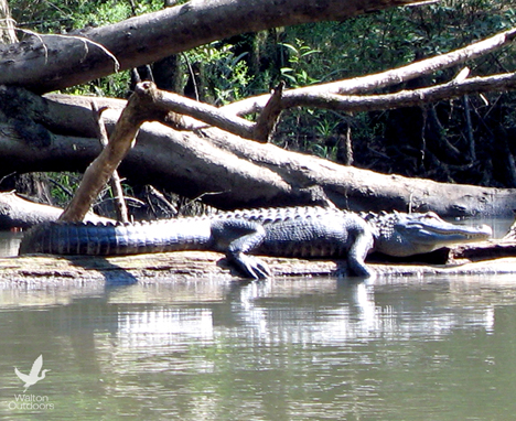 Alligator sunning itself along the Choctawhatchee River. Lori Ceier/Walton Outdoors