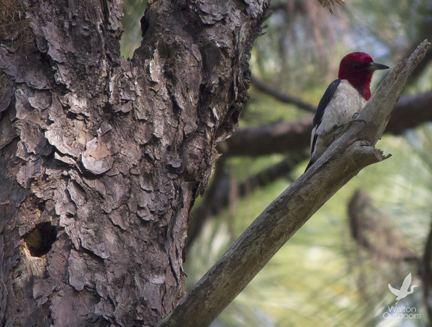 red headed woodpecker, falling waters state park,