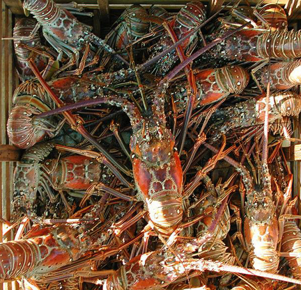 Spiny lobster season opens Aug. 6 with a two day season opener July 30-31. Photo courtesy FWC.