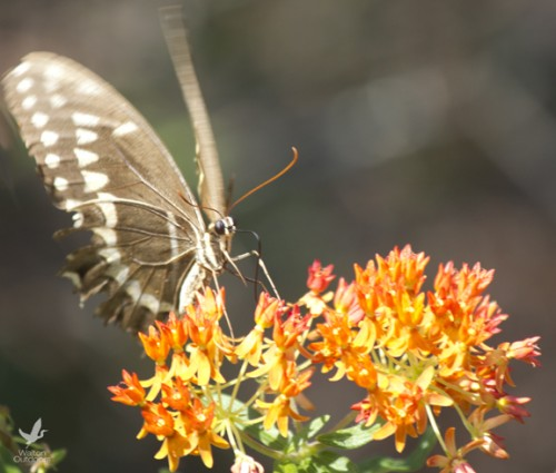 A butterfly feeds on milkweed at Topsail Hill Preserve State Park. Lori Ceier/Walton Outdoors
