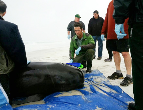 A pilot stranded whale was discovered during the early morning hours of Nov. 26. Photo courtesy Grayton Beach State Park