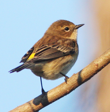 Yellow-rumped warbler photo by Walt Spence.