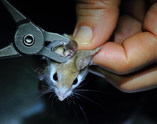 Beach Mouse Receives Tag Walton Outdoors