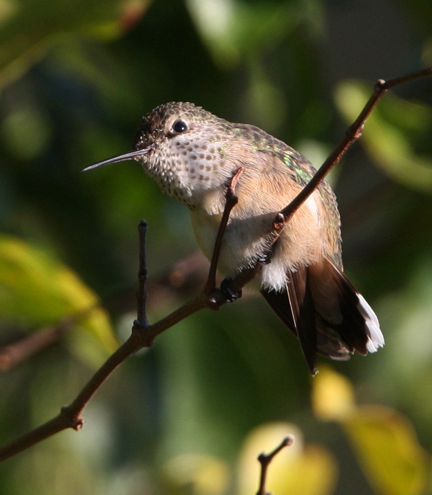 Female ruby-throated hummingbird. Photo courtesy Walt Spence